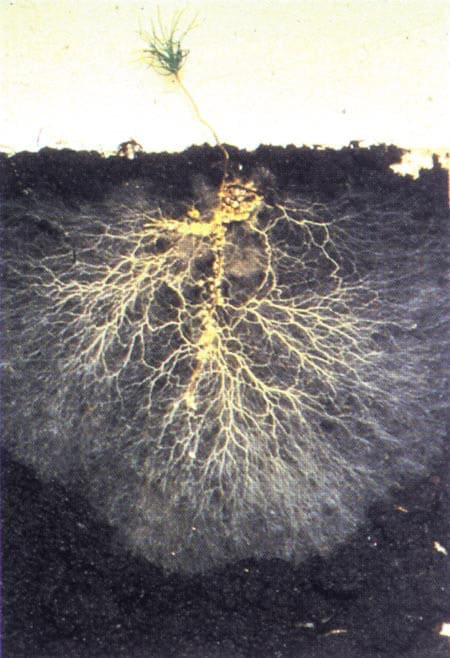 Beneficial Mycorrhizal Fungi