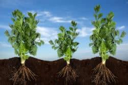Endomycorrhiza